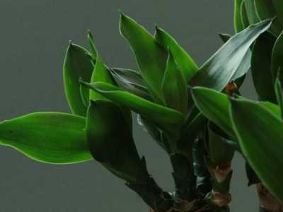 水养富贵竹怎么养 温度合适/勤施肥最关键