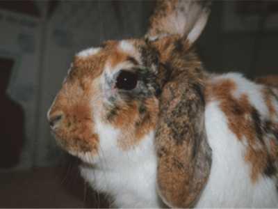 垂耳兔熊猫兔混养 为何不要养垂耳兔