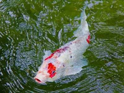 金鱼能和什么鱼混养 锦鲤可以和什么鱼混养