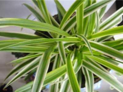 银心吊兰 吊兰种类及名称图片