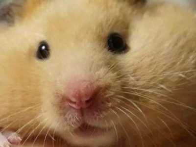 仓鼠突然不活跃了 仓鼠不吃东西但很活泼