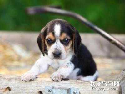 比格犬感冒了吃什么药 狗狗鼻子掉毛用什么药