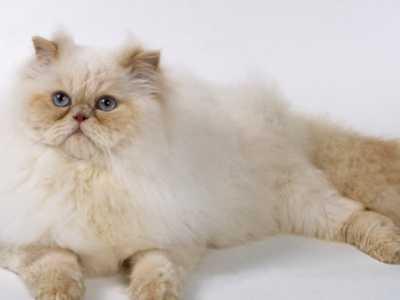 波斯猫幼崽吃什么 波斯猫喜欢吃什么