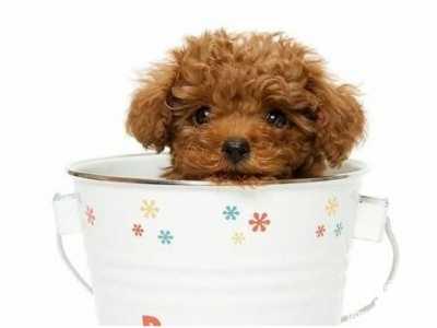 茶杯犬领养 茶杯犬呕吐的原因及预防方法
