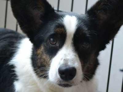 黑白柯基犬 黑白柯基是纯种的吗