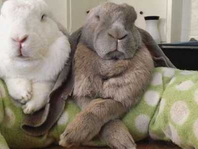 垂耳兔道奇兔哪个温顺 都符合了人们对可爱的兔兔的幻想