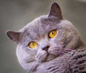 猫发腮是什么意思 猫发腮吃什么