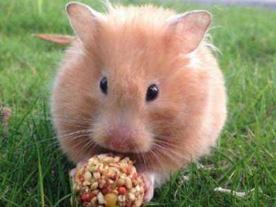 仓鼠喜欢用豆磨牙吗? 啥东西代替仓鼠磨牙棒