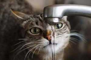 猫一天喝多少水正常 猫咪每天喝多少水正常