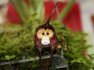 什么猴子可以家养 家养盆栽猴面小龙兰的养殖方法和注意事项有哪些