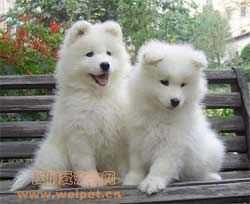 三个月大萨摩耶图片 3个月的萨摩耶幼犬图片
