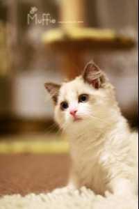 布偶猫各种血线 布偶猫血线证书怎么看