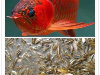 龙鱼吃的小虾怎么处理 小鱼、小虾、泥鳅等