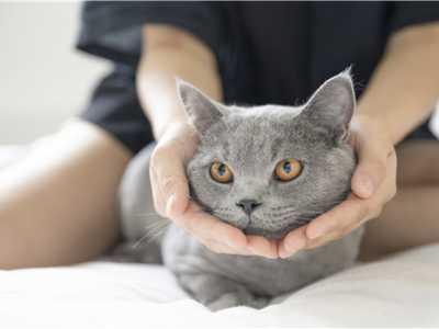 英国短毛猫有黑的吗 英国短毛猫有几种颜色