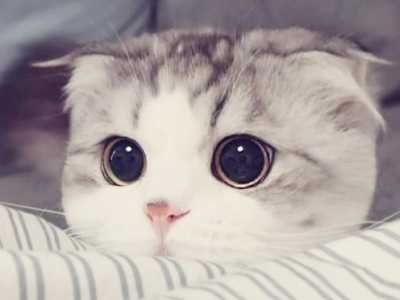 折耳公猫体重不变 将一生处于痛苦之中